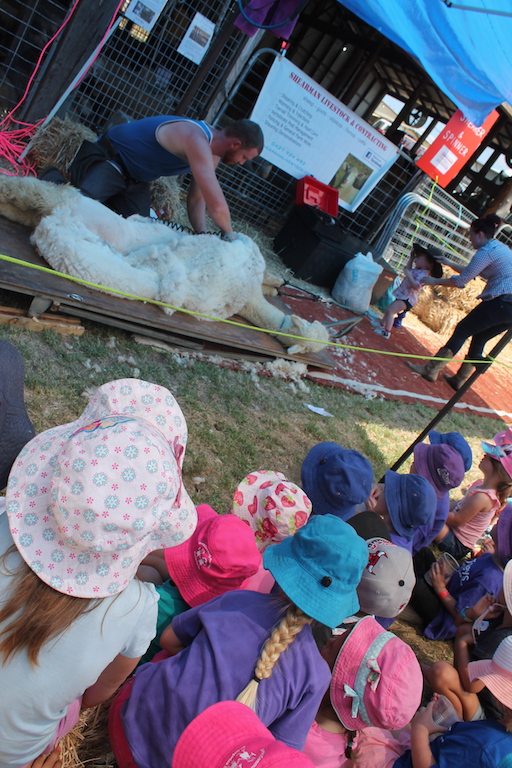 Preschoolers fascinated by the shearing of an alpaca