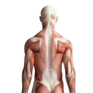 musculoskeletal-system.jpg