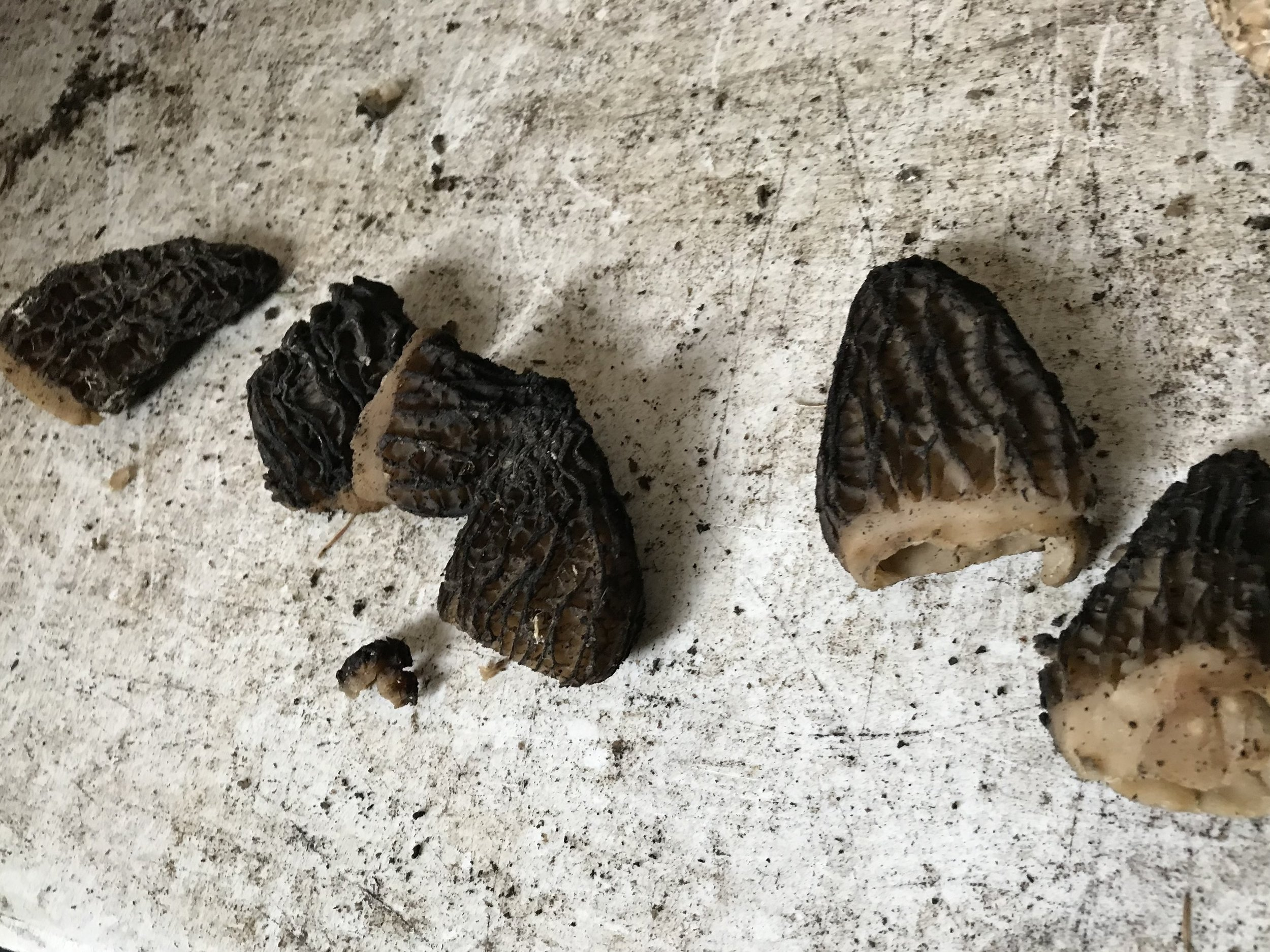 Rotten or old morels. Take note of the root colour and shrivelled bodies.