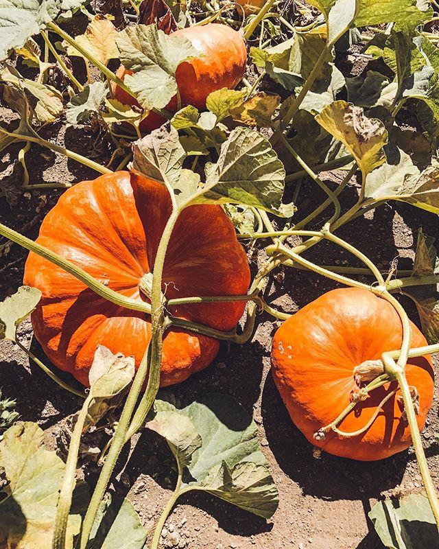 It's the pumpkin season! 🎃 • • • #pumpkinspice #pumpkinseason #pumpkinpatch #pickyourpumpkin #pumpkin #pumpkin🎃 #explorecalifornia #traveloften #roadtrip #travelphotography