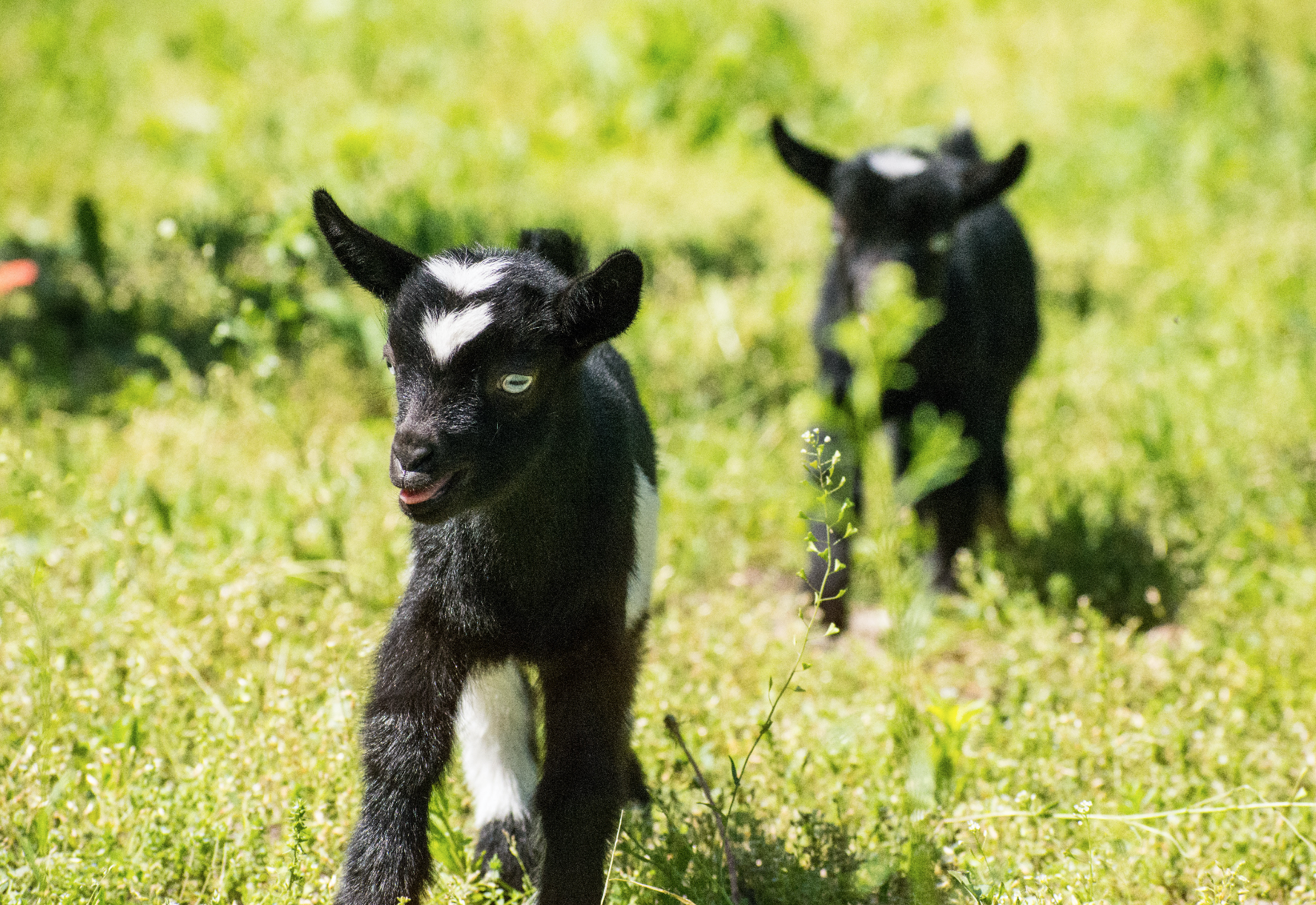 goat_yoga_class_dabble_chicago.png