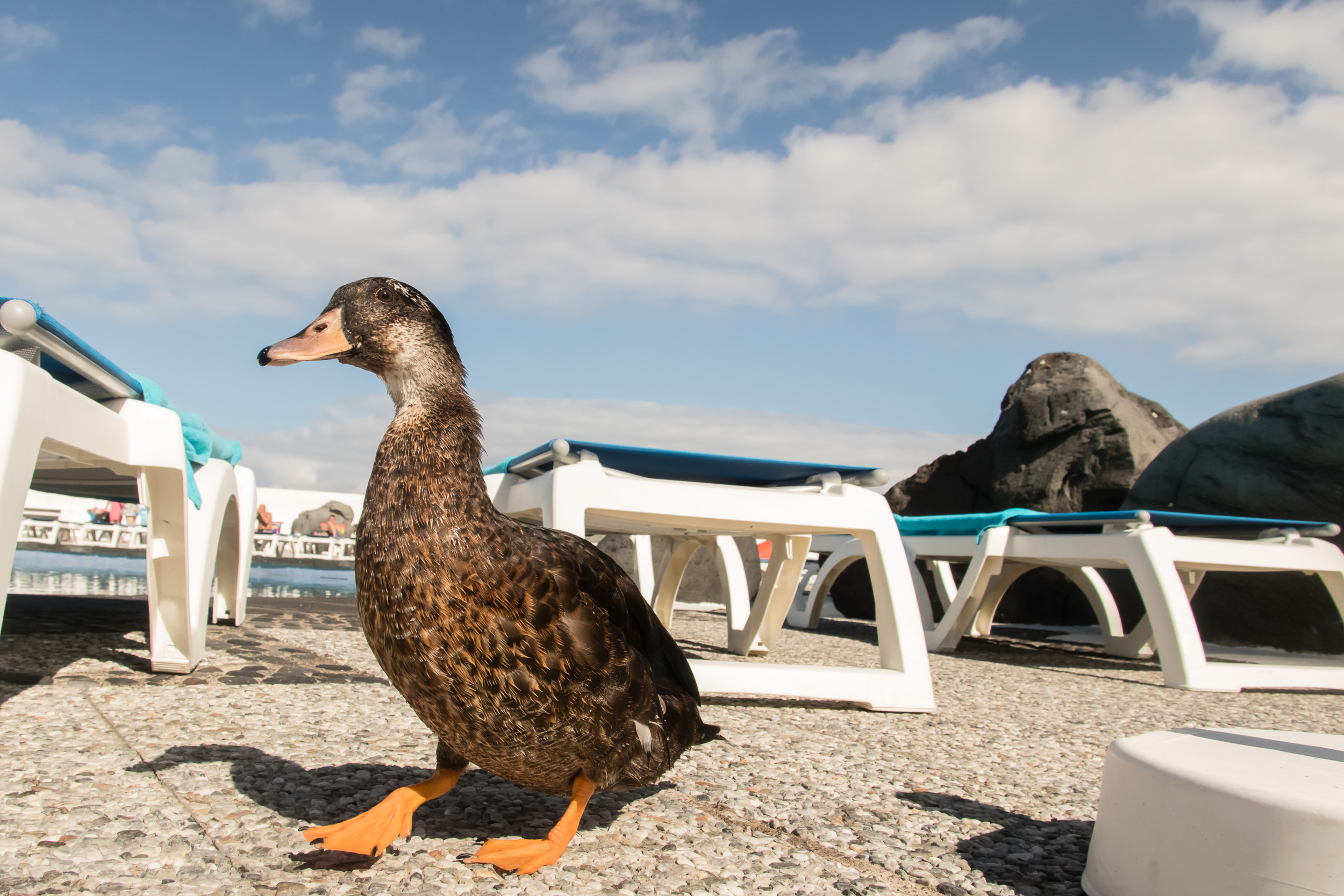 Here's a friendly duck that was swimming at the sea water pools of Lago Martiánez. It allowed me to follow him and take this picture.