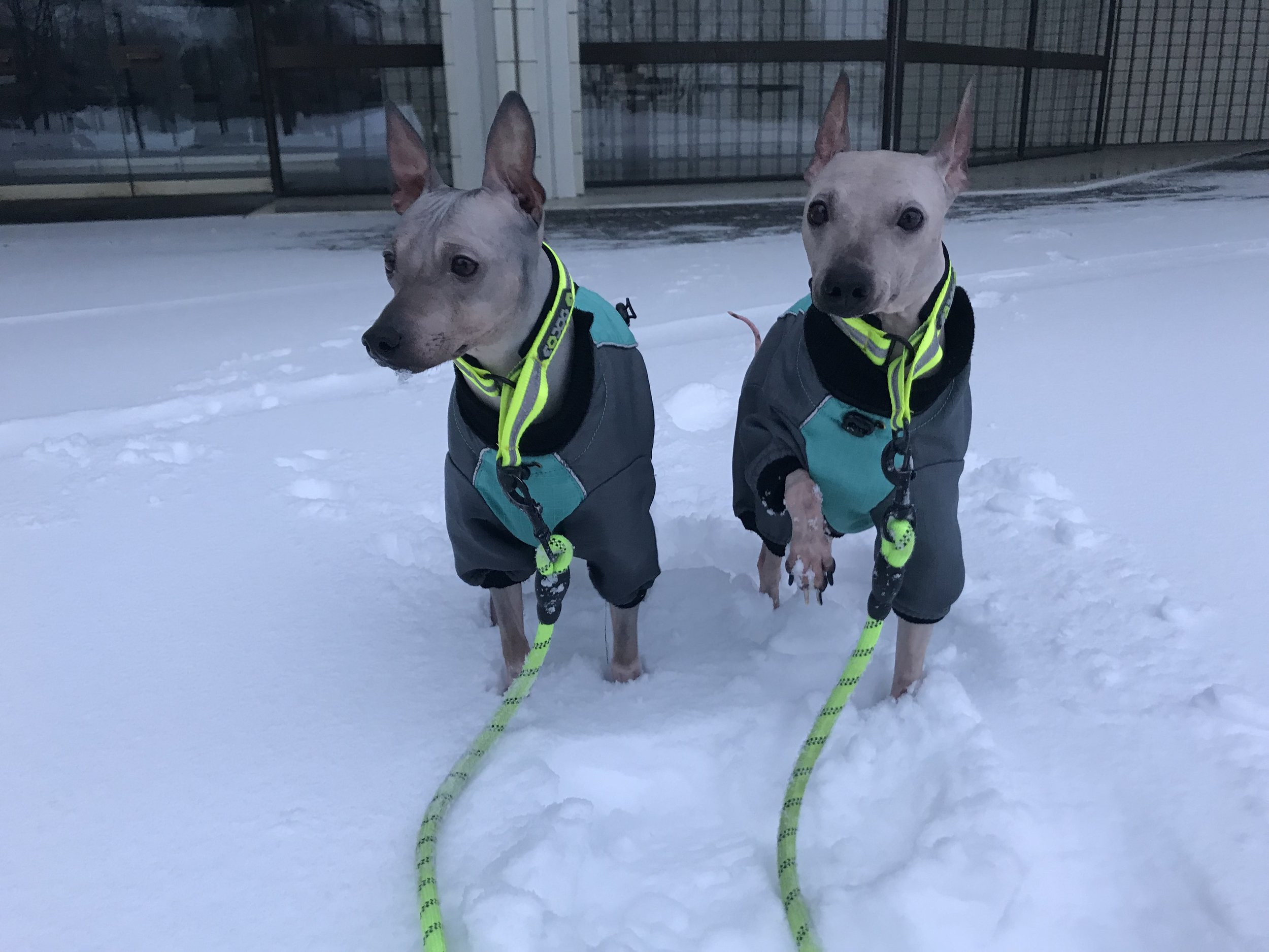 My two little hairless terriers have to dress up for the winter.