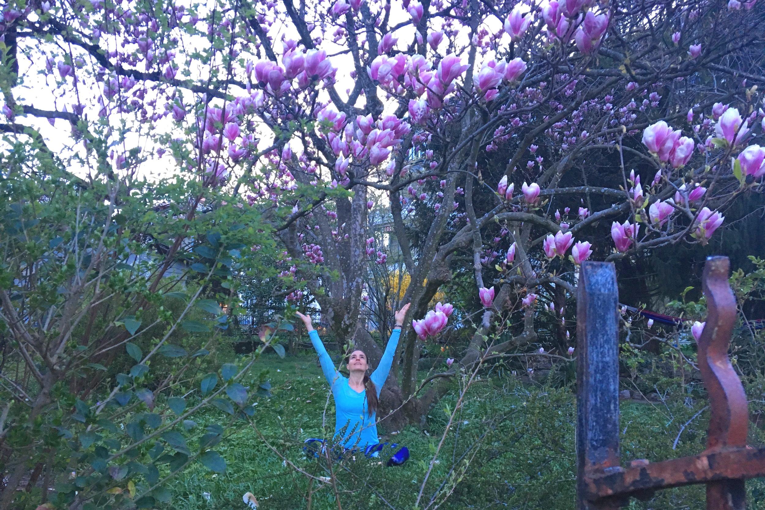 Spring Magnolia tree in bloom !