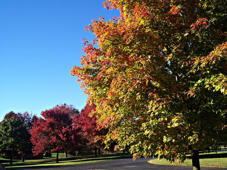 Acer saccharum, fall color with rubrum.JPG