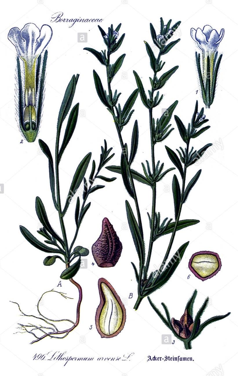 자초 Jacho or Gromwell plant