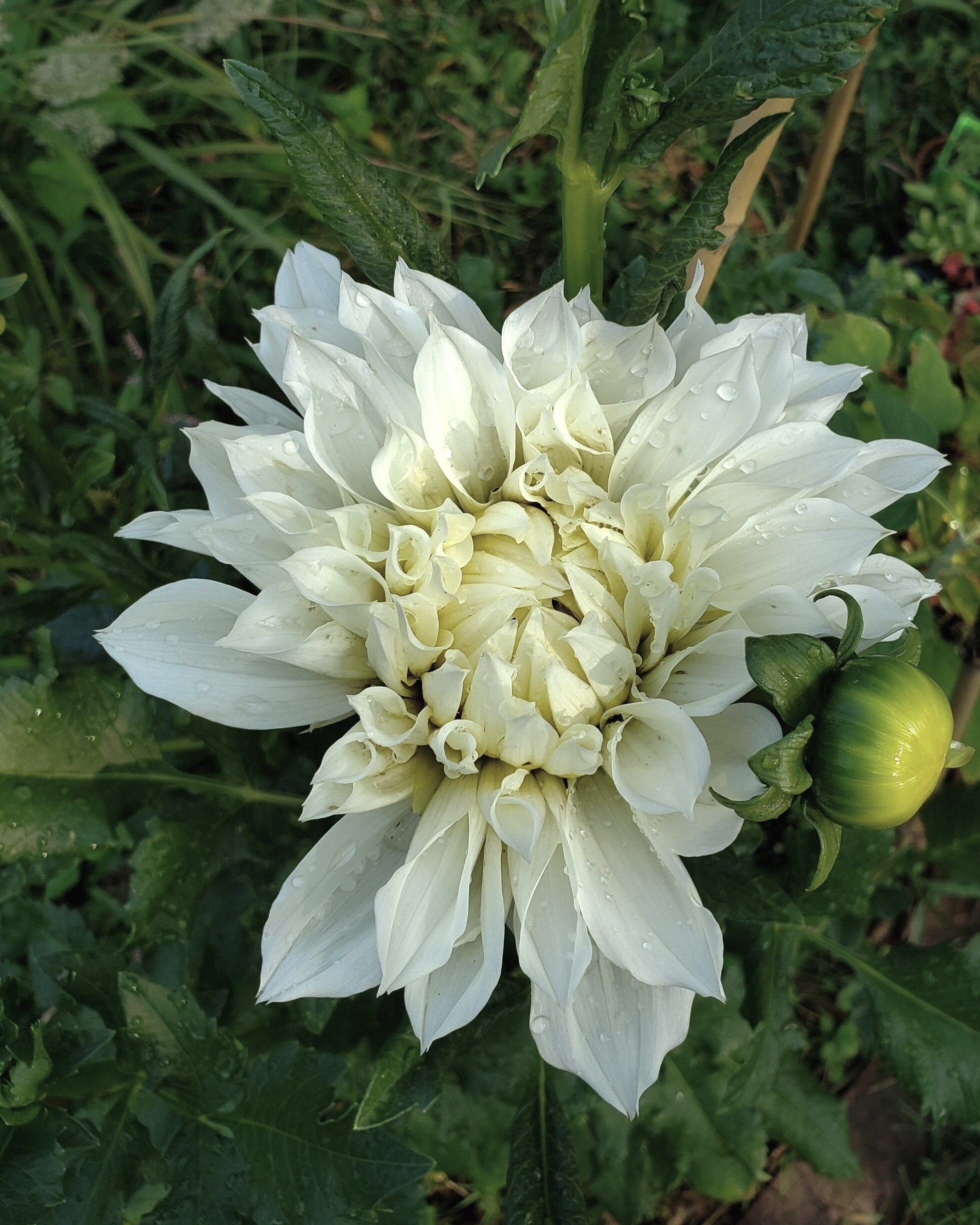 For the First Time! Dahlias in my backyard!