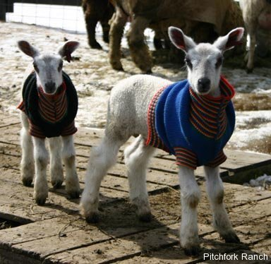 Two bluefaced leceister lambs wearing sweaters, image courtesy of  Pitchfork Ranch