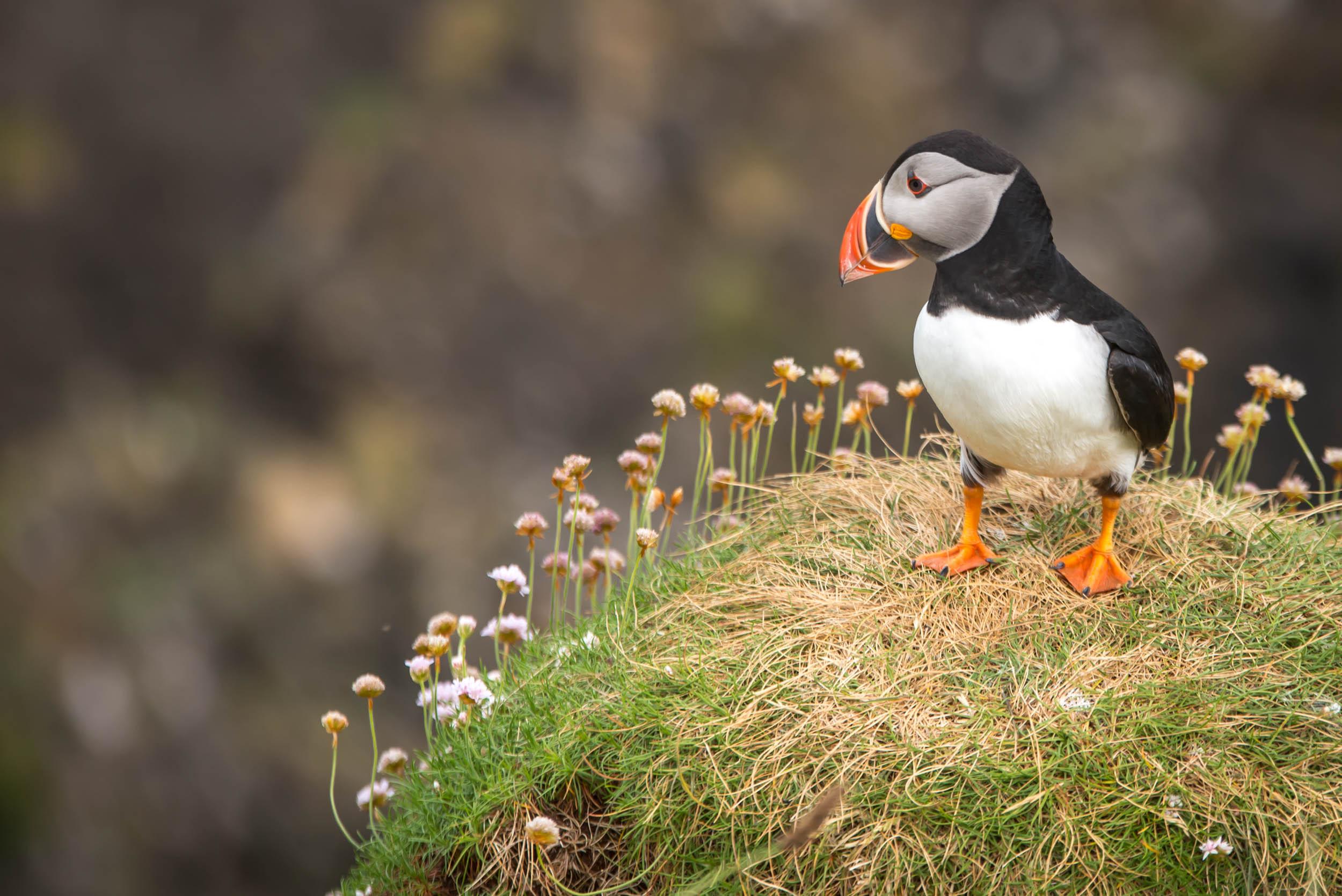 Puffins on the Isle of Staffa, Scotland