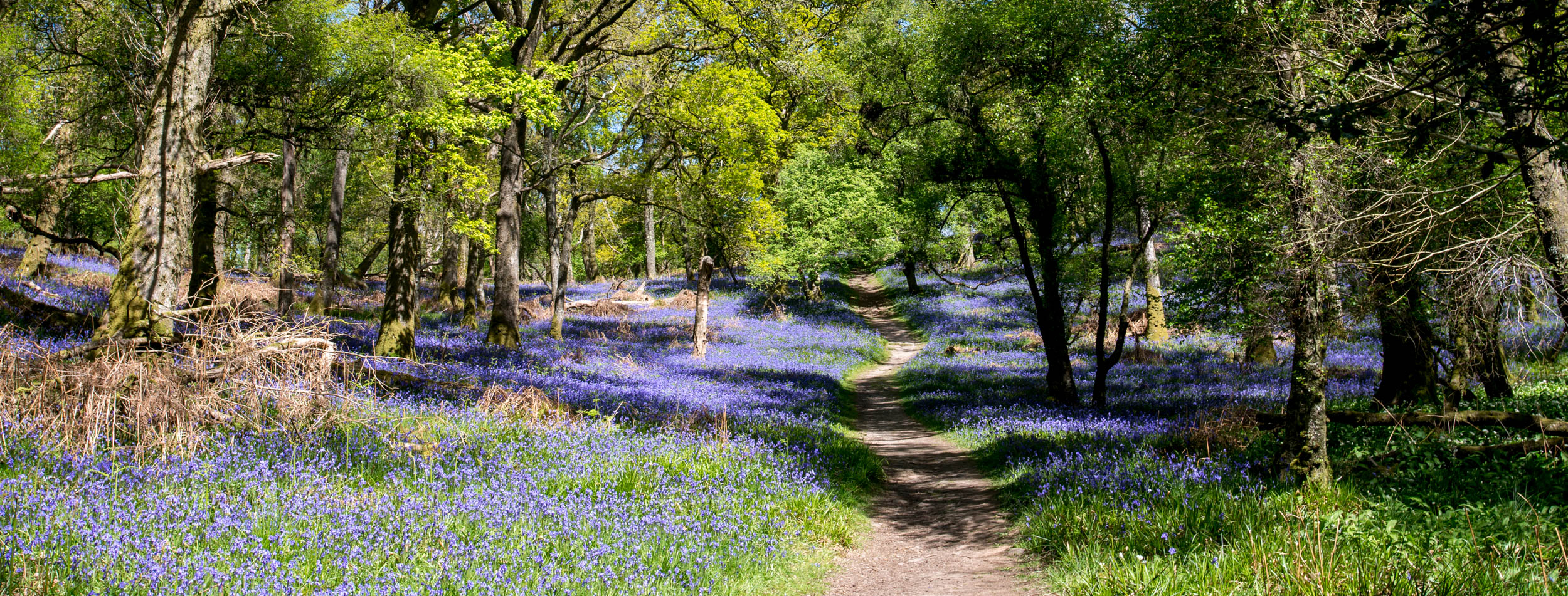 Bluebells on Inchcailloch Island