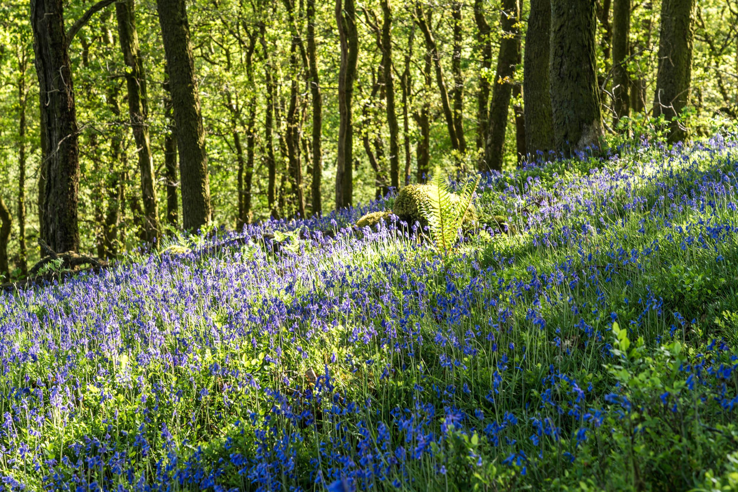 Bluebells at Aberfoyle