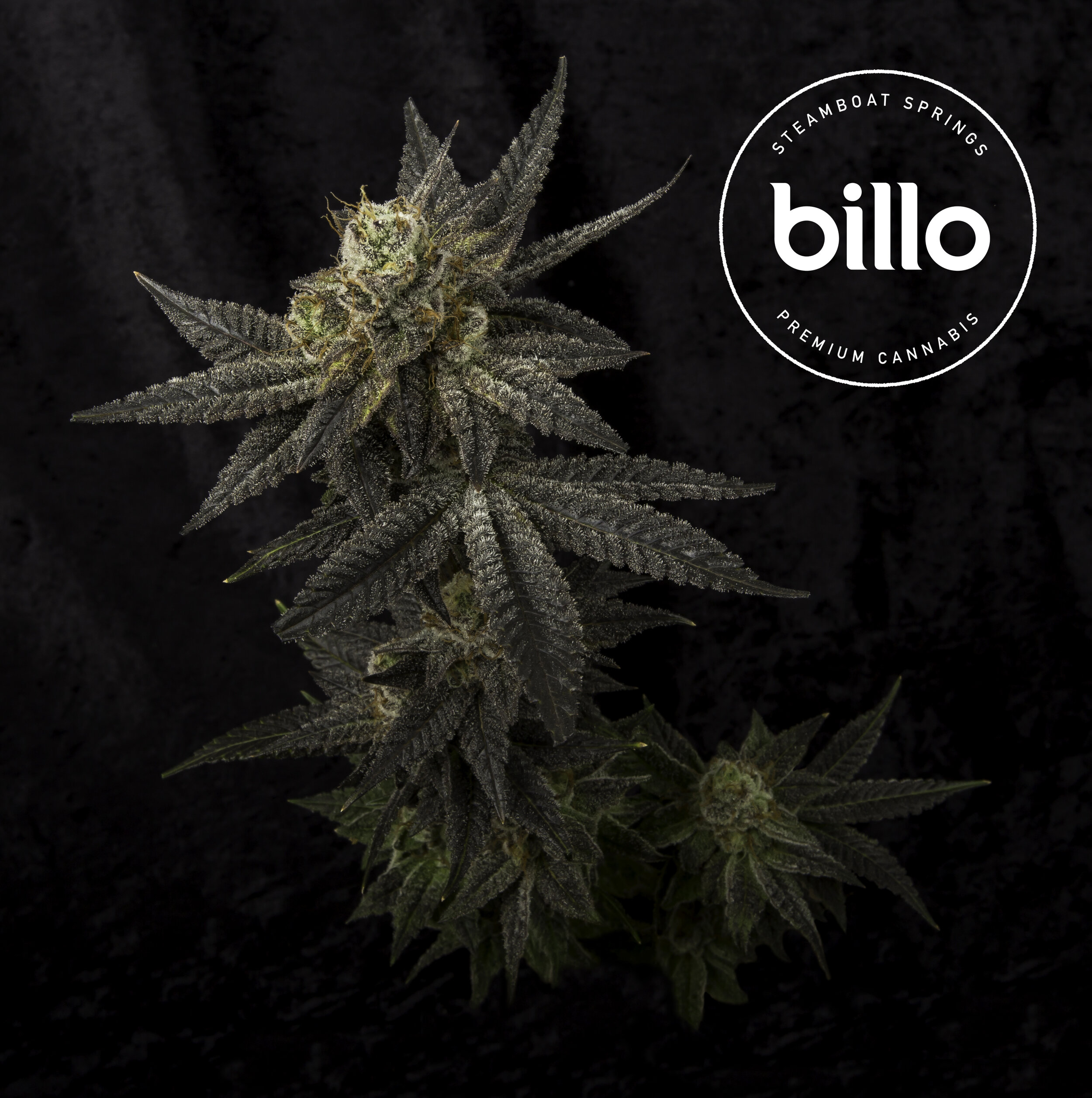 Medical Marijuana grown by Billo