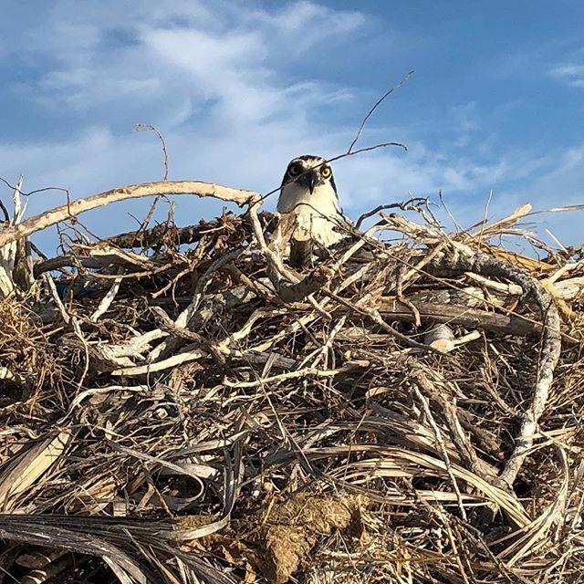 Osprey nesting all over Guerra Negro whale sanctuary. #osprey #nesting #explorebaja @photoshootbaja