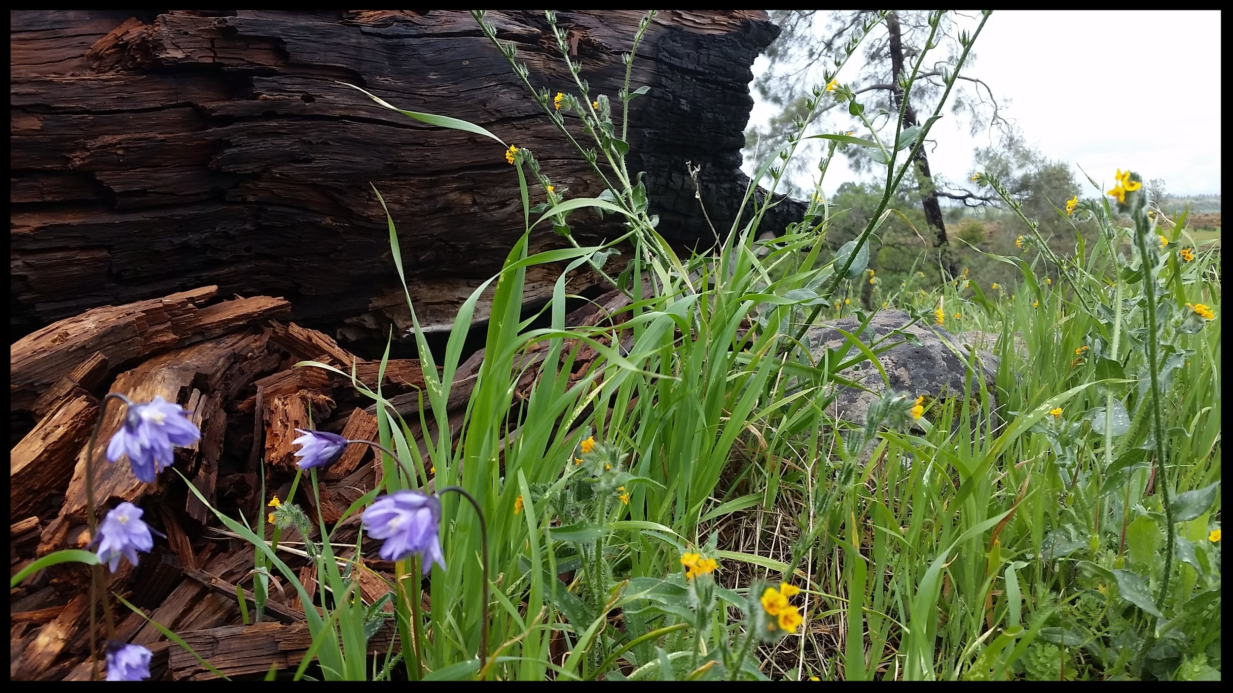 Fire scars in Bidwell Park tell a story of a changing landscape