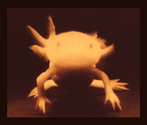 John Brill,  Axolotl (No. 1 from edition of 10),  2013, pigment paint on rag, with UV-shielding varnish, 5.5h x 6.5w in.