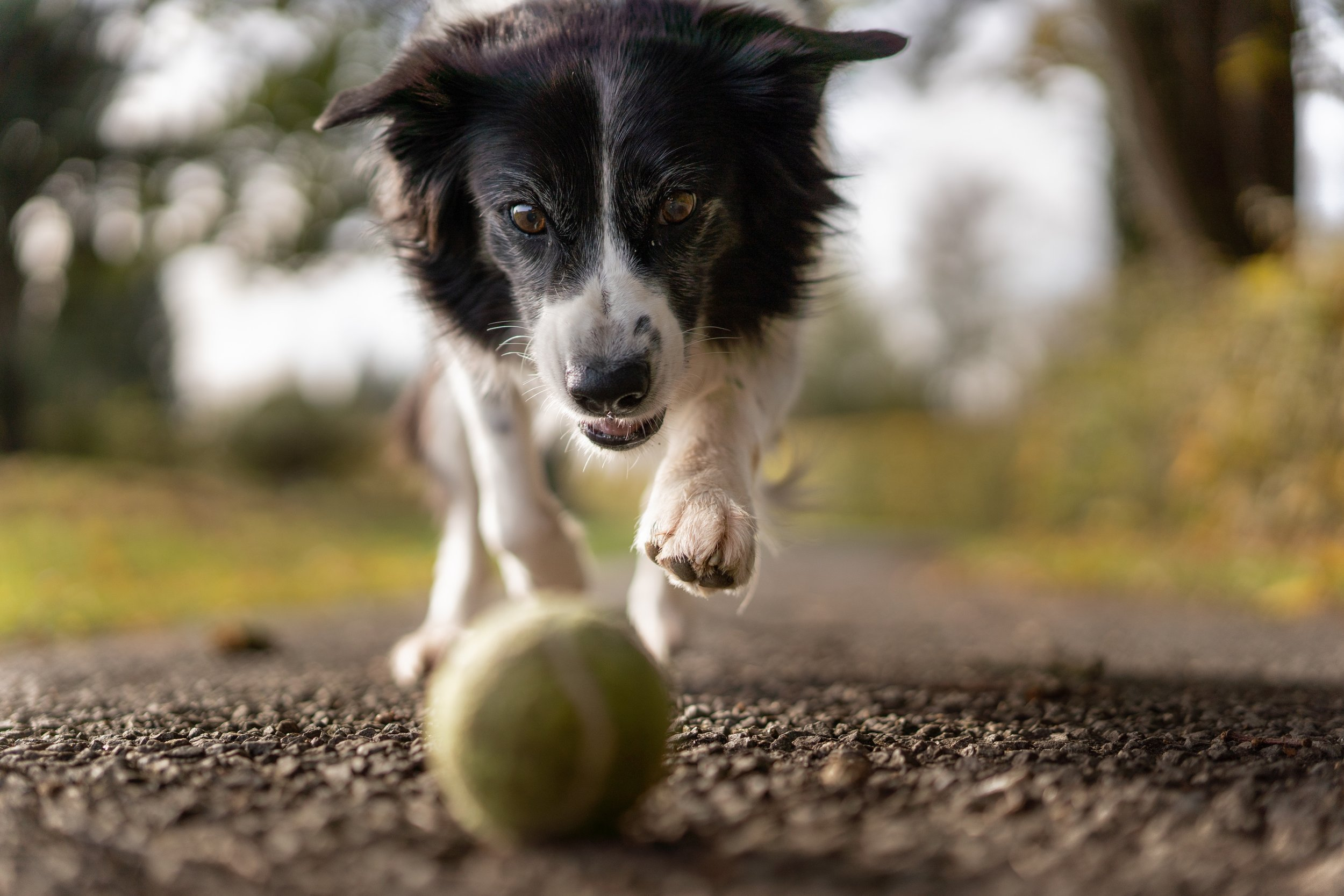 ADULT DOGS -