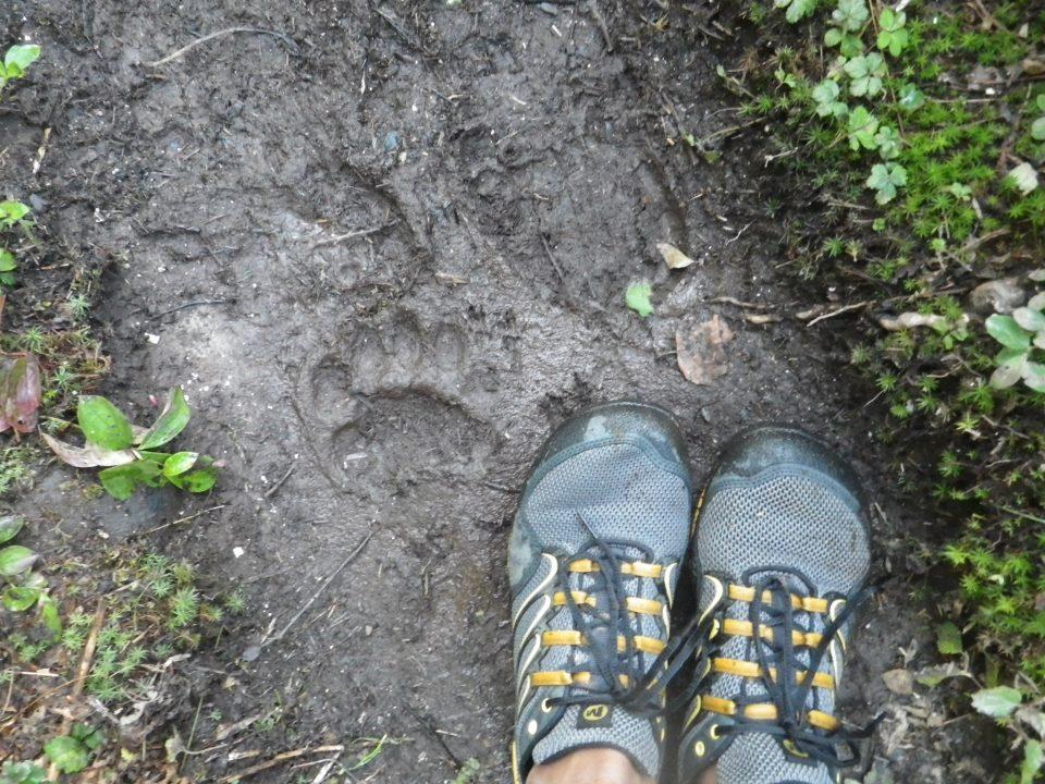 Bear tracks on my morning run circa 2012 (Photo credit: Adam Edwards)