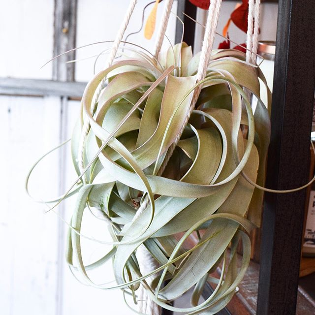 So, we're kinda obsessed with all of the new air plants that just arrived! 🌿 Especially that big ole tillandsia xerographica we tucked in a @noraraemacrame plant hanger! 😍 Open until 6p today!