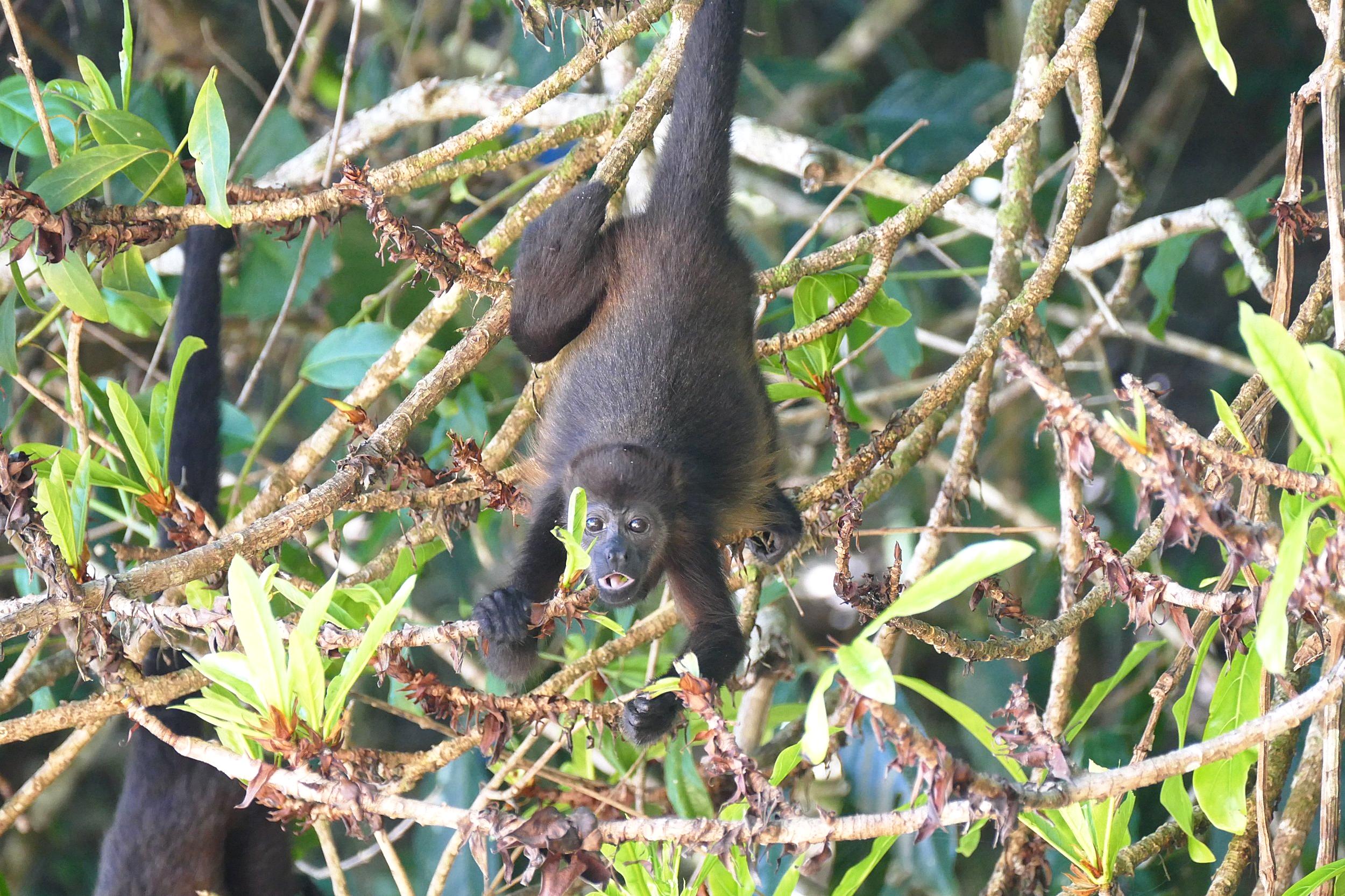Bébé singe hurleur au Tesoro Escondido, Bocas del Toro, Panama