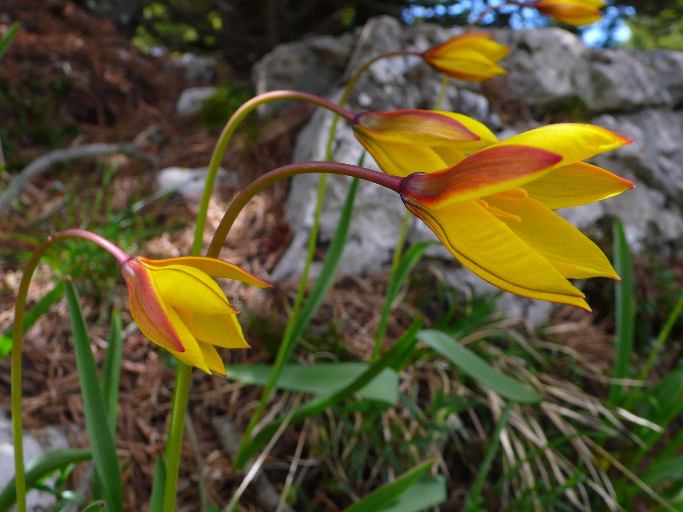 045_Wild Tulip_Rousset.JPG