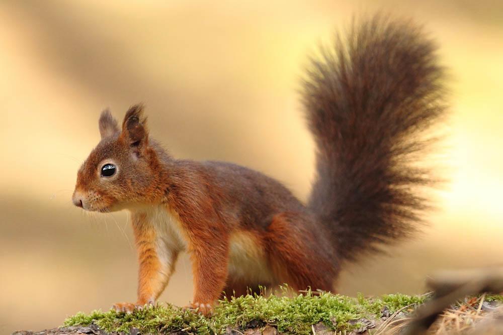 Red-Squirrel-Loch-Lomond-.jpg