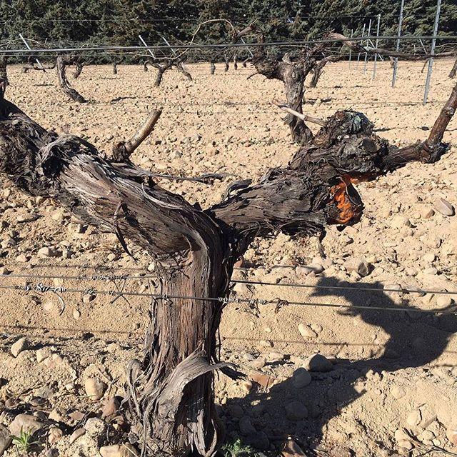 """""""Lloro sangrante """"de nuestros viñedos en ECO. Este fenómeno se produce por el contacto de la savia y de los distintos organismos vivos ( bacterias , hongos etc...) la no utilización de productos químicos favorece su desarrollo."""