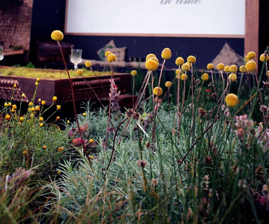 billy-buttons-garden-design.jpg