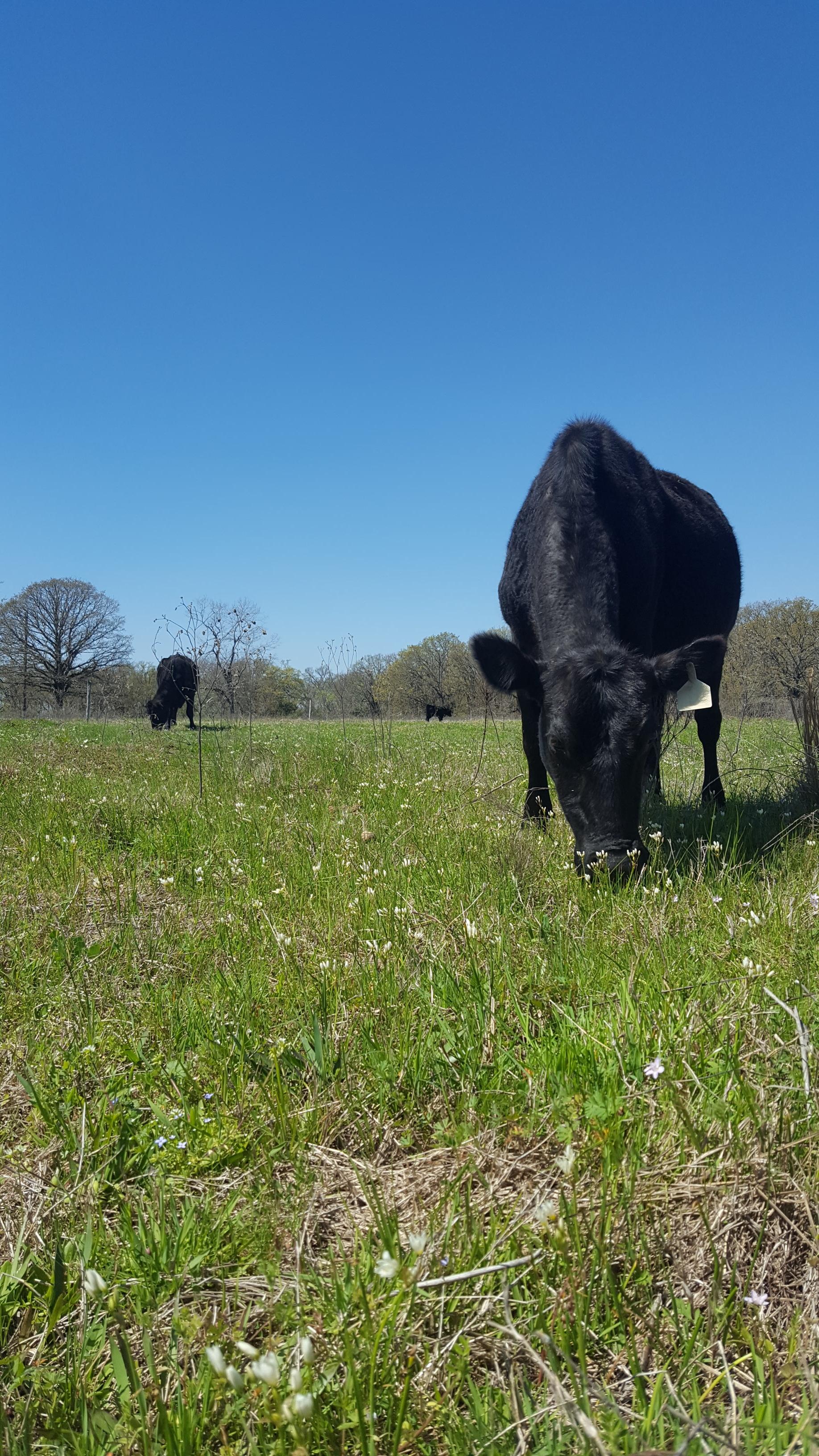 cow8.jpg