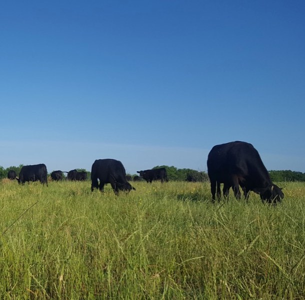 """As 12 million+ pounds of beef are being recalled in the US for a possible salmonella contamination, we are so thankful for the gifts of sunlight, fresh air, grass, and movement that keep our cattle healthy. This tragic event reminds me of the reason we started: """"Be the change that you wish to see in the world."""" - Ghandi.  We pray for those affected and urge everyone to be careful. May we use our time on Earth to make a positive difference in the lives of others 🧒🏻🐂🐐🐓🦚"""