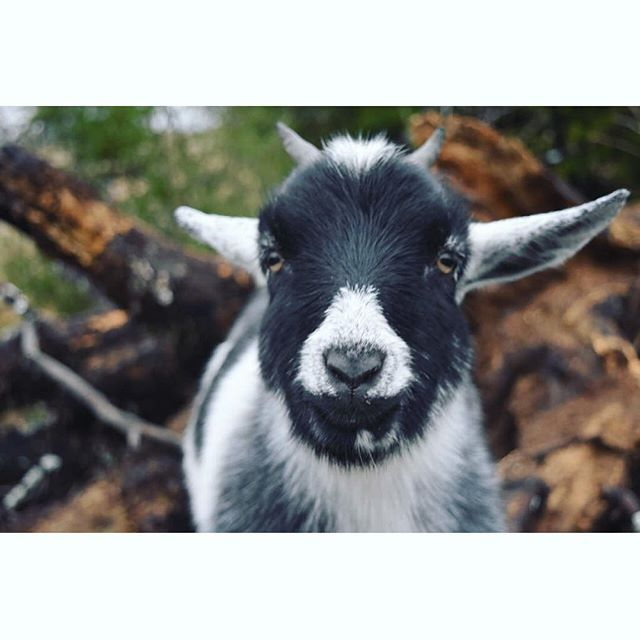 """""""What YOU looking at?"""" • giving some serious goat #attitude 🐐  #gooutside #healthyliving"""