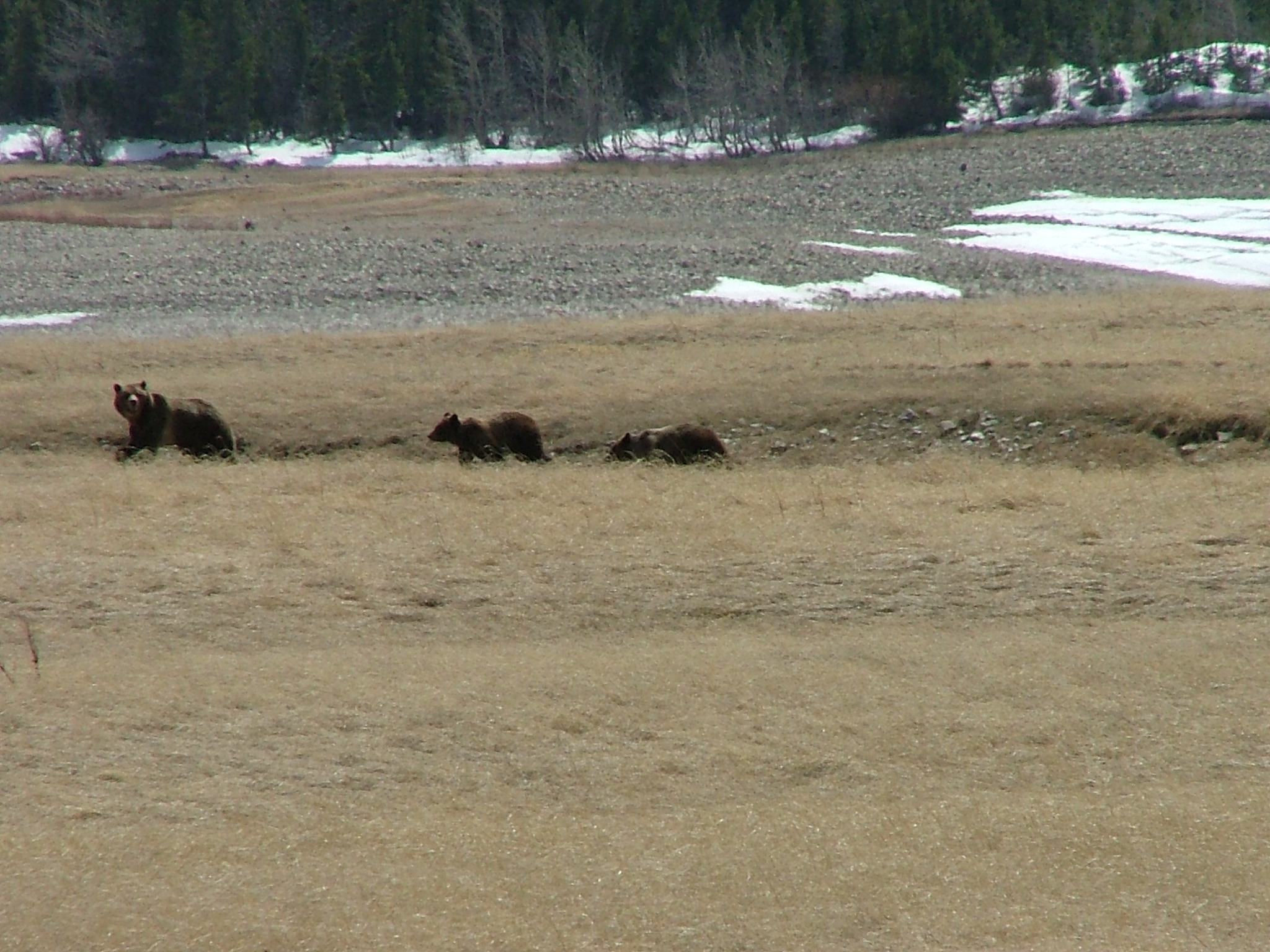 A family of bears searches for springtime grub on the shores of Sherburne Reservoir, April 2005.