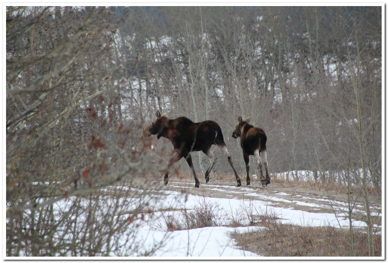 Mama moose and yearling calf