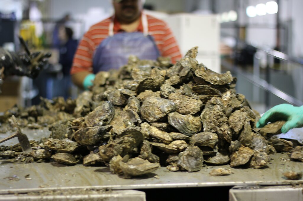 Fresh Wild Caught Oysters