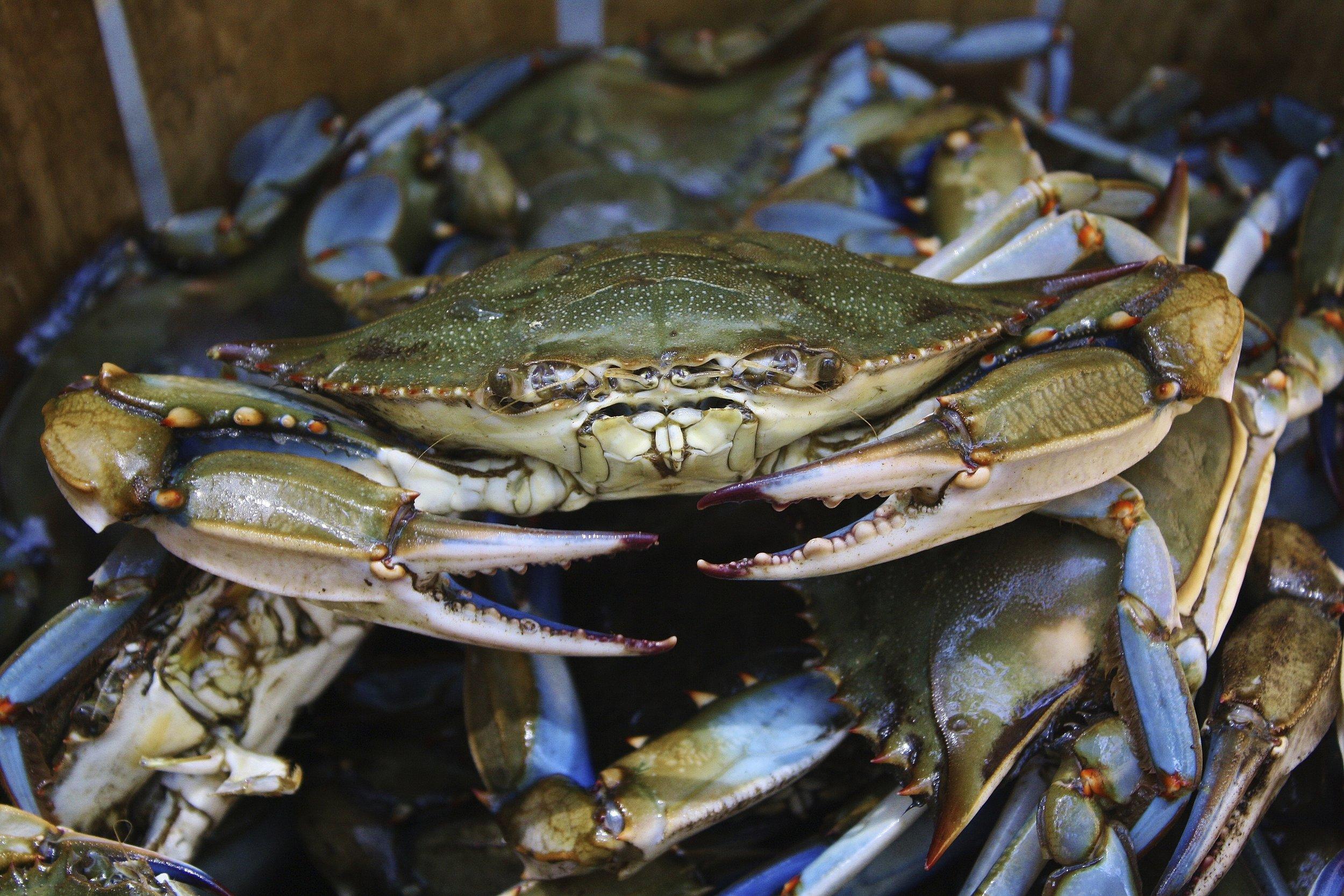 Live Chesapeake Bay Blue Crabs