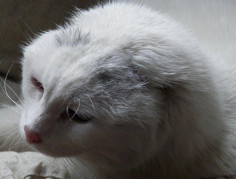 Katnapolsky_kat_zonder_oren_en_zonder_staart.jpg