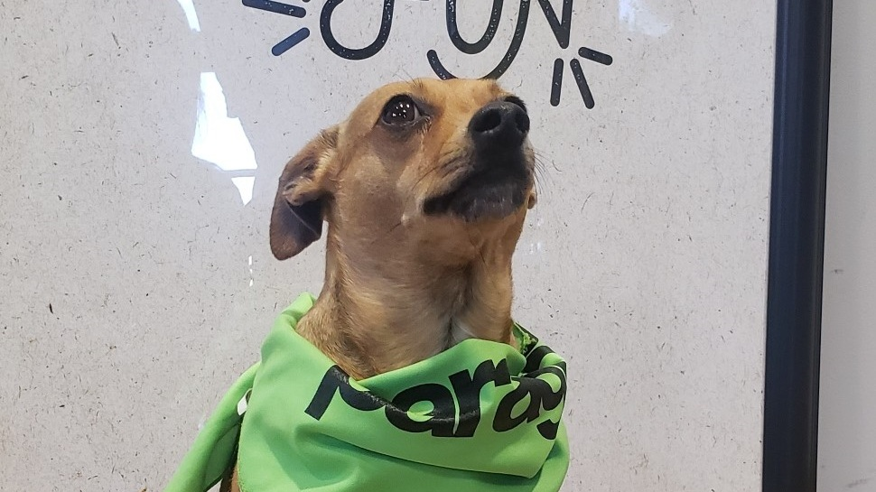 Owner: Geoff  Cue the Rocky theme song - this Min Pin/Italian Greyhound mix loves to run around and play catch with his family.
