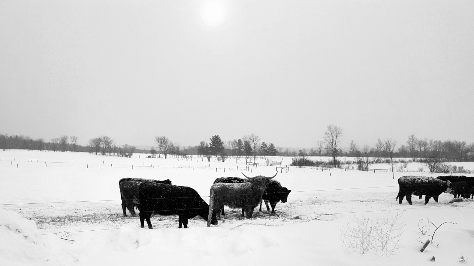 Cattle at West Wind Acres