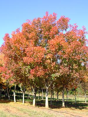 Wholesale Trees Gallery 2.jpg