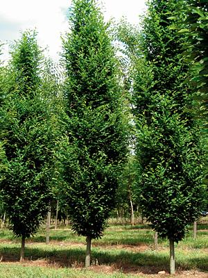 Wholesale Trees Gallery 3.jpg