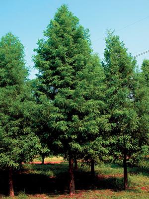 Wholesale Trees Gallery 6 .jpg