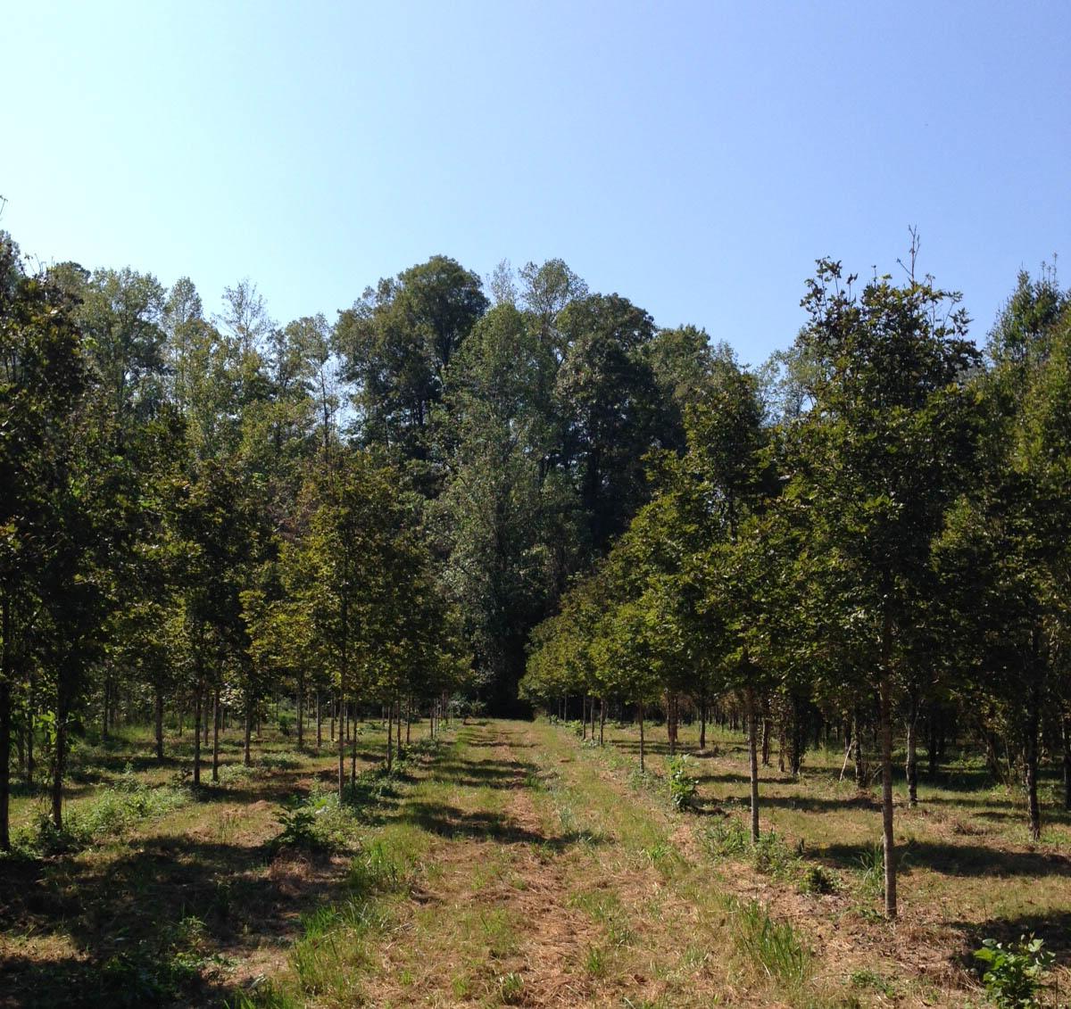 Wholesale Trees Gallery 7.jpg