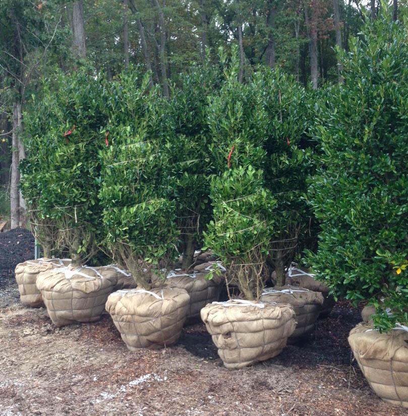 Tree Transplanting 4.jpg