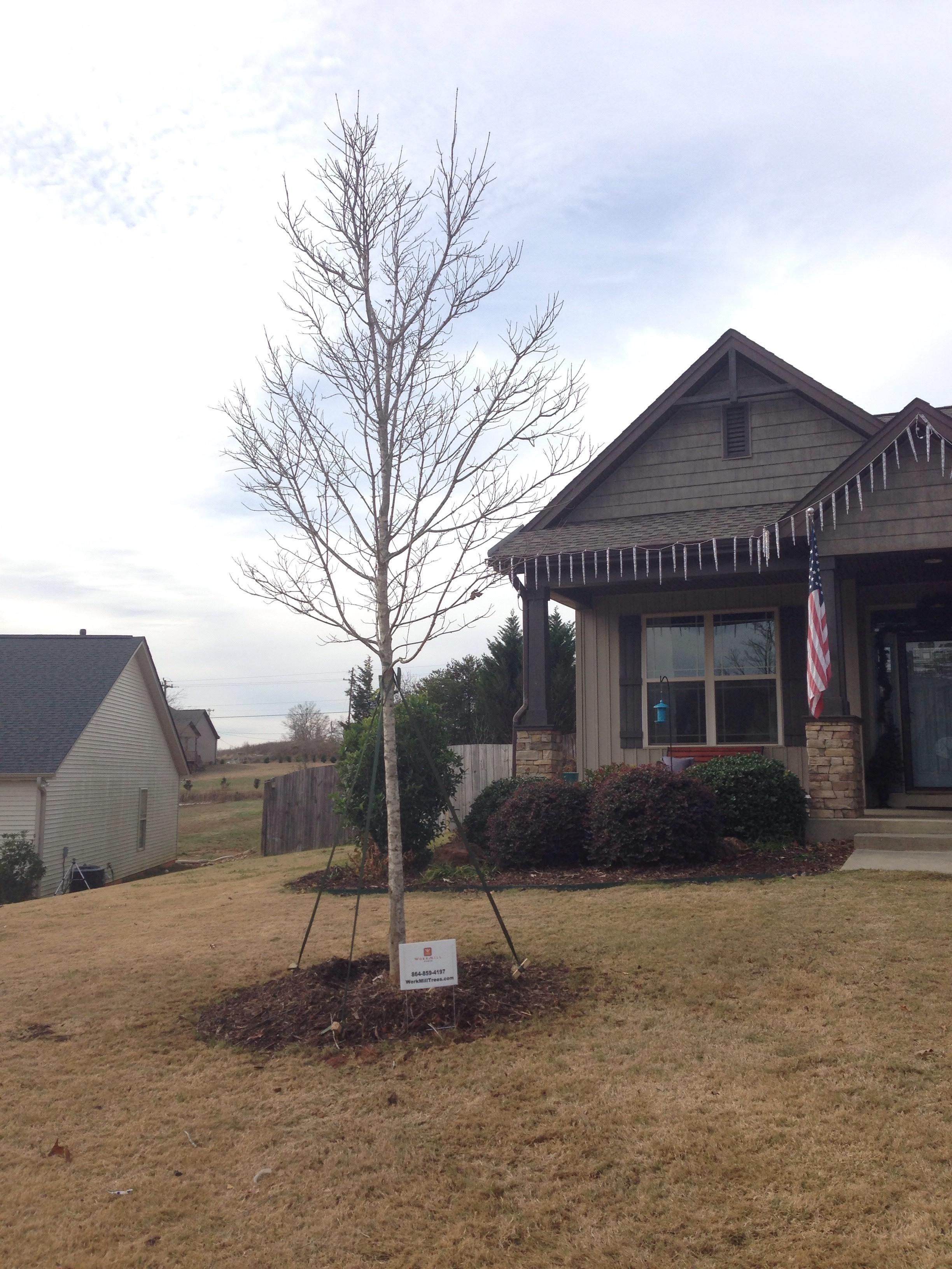 Tree Transplanting 8.jpeg