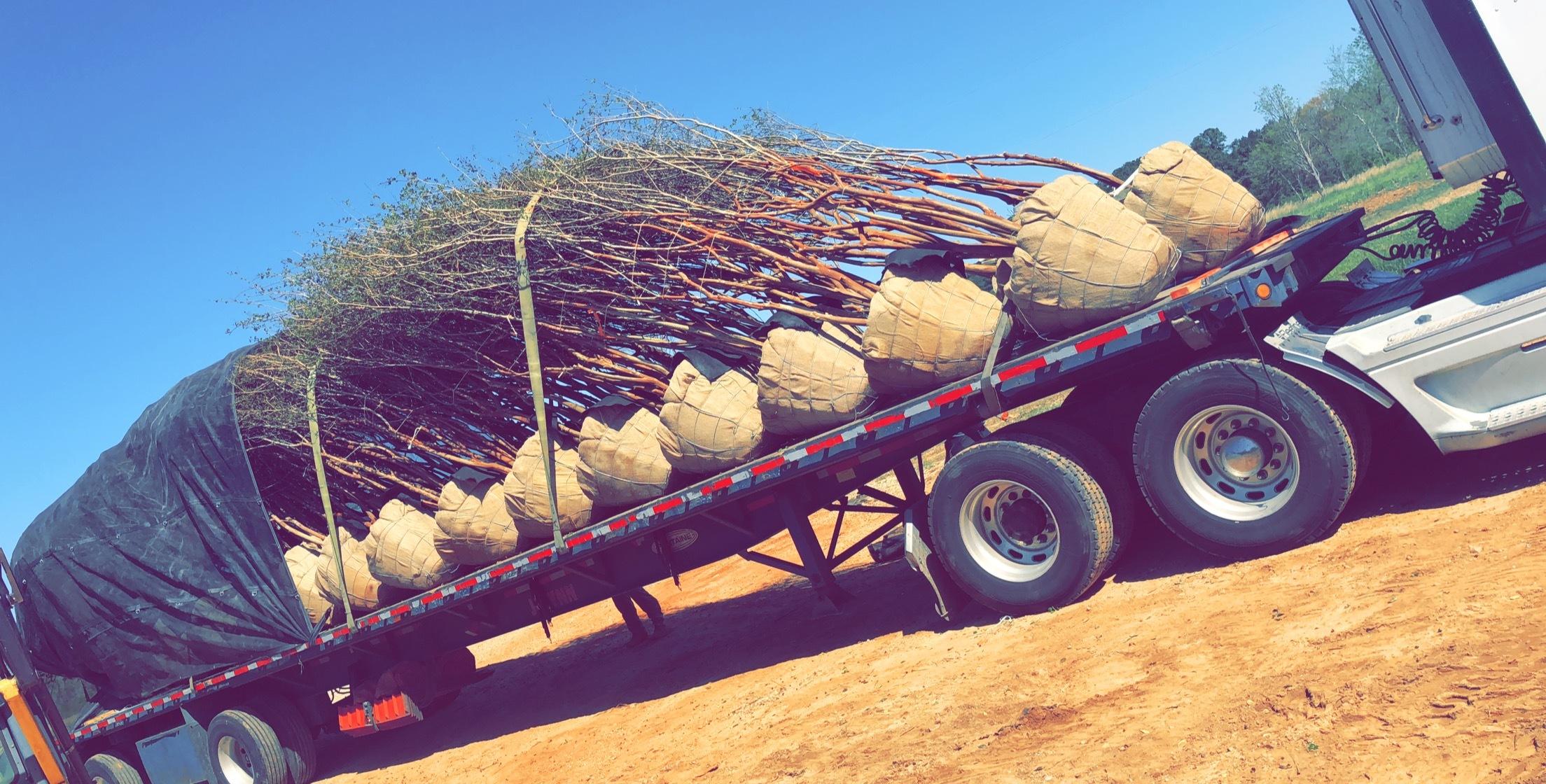 Tree Transplanting 1.JPG