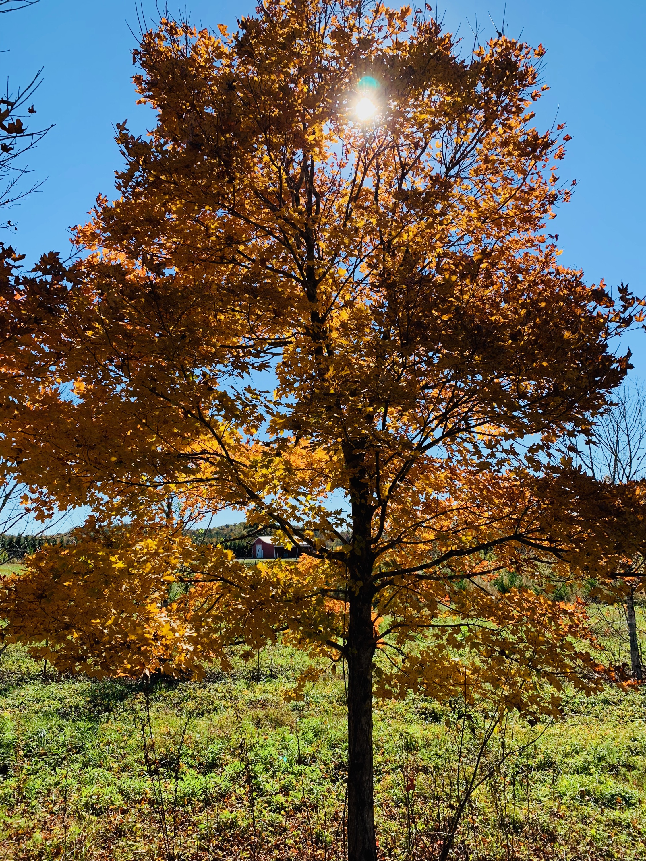 Legacy Maple Tree