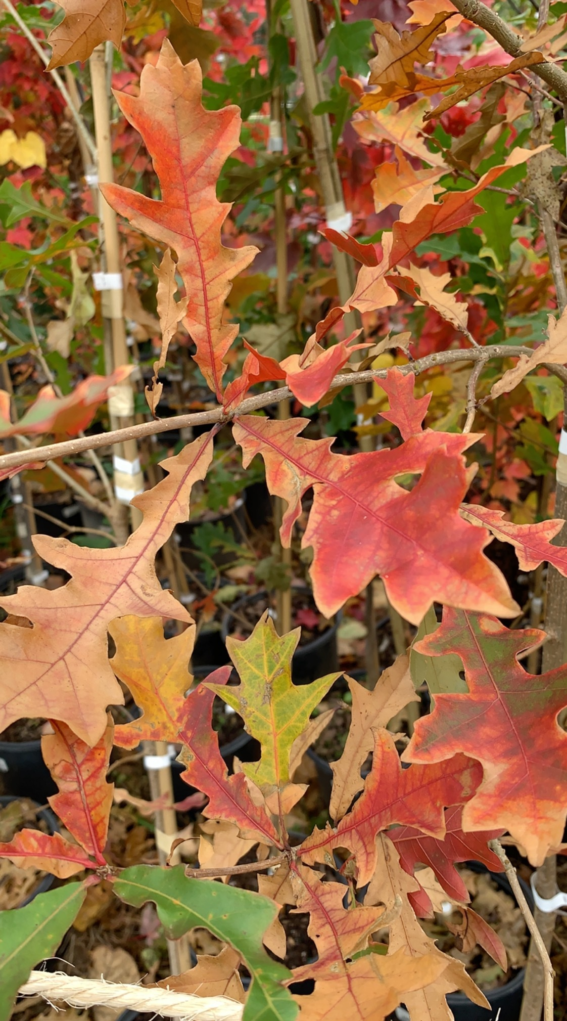 Overcup Oak Leaves.jpg