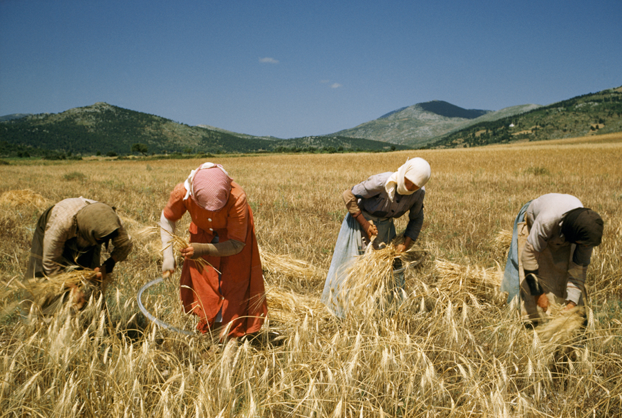 Women harvest wheat with sickles then bind it by hand in a field in 1956. PHOTOGRAPH BY FRANC AND JEAN SHORE, NATIONAL GEOGRAPHIC