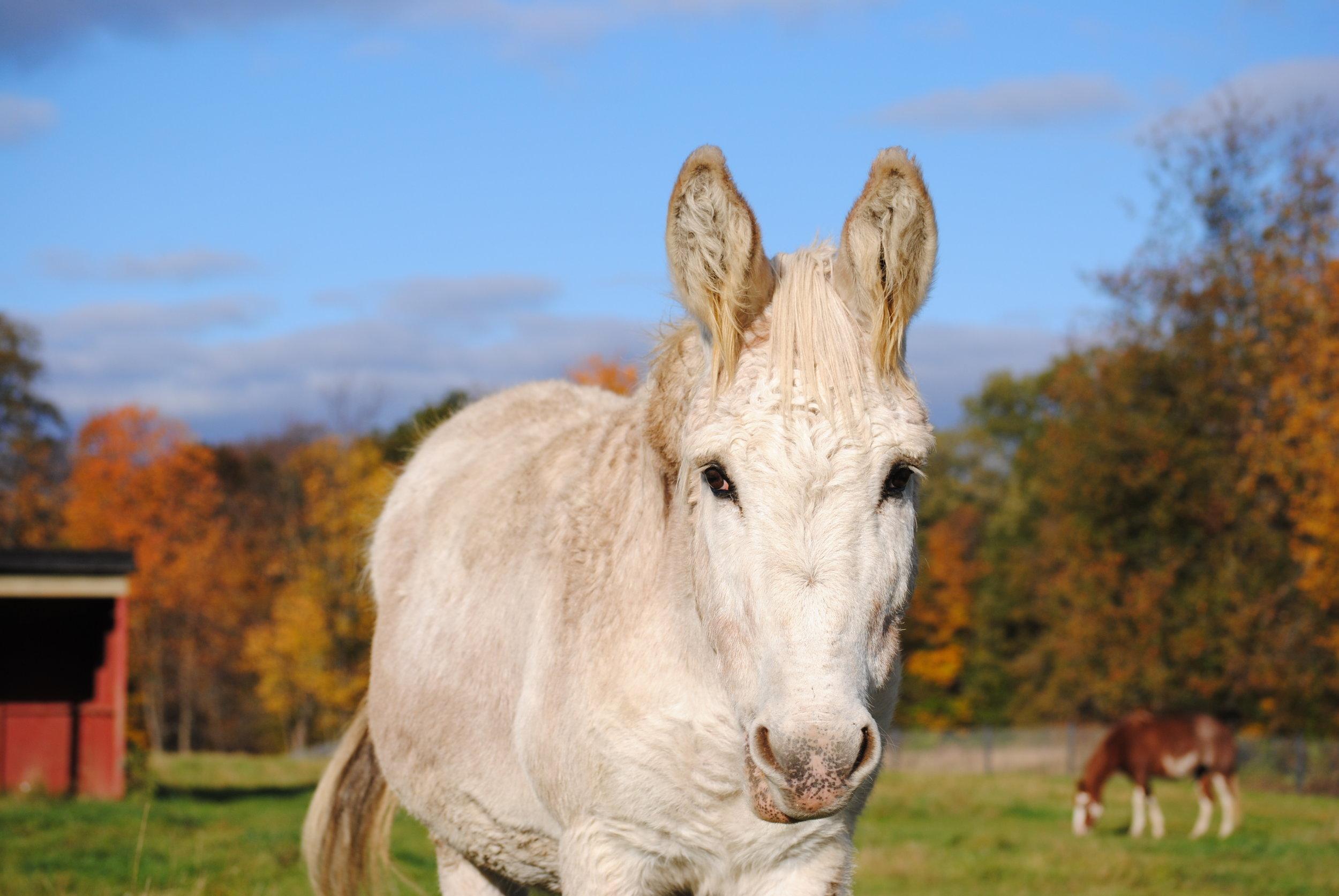 Archie 2006 Standard Donkey Jack Donated By: Stacey Pennock