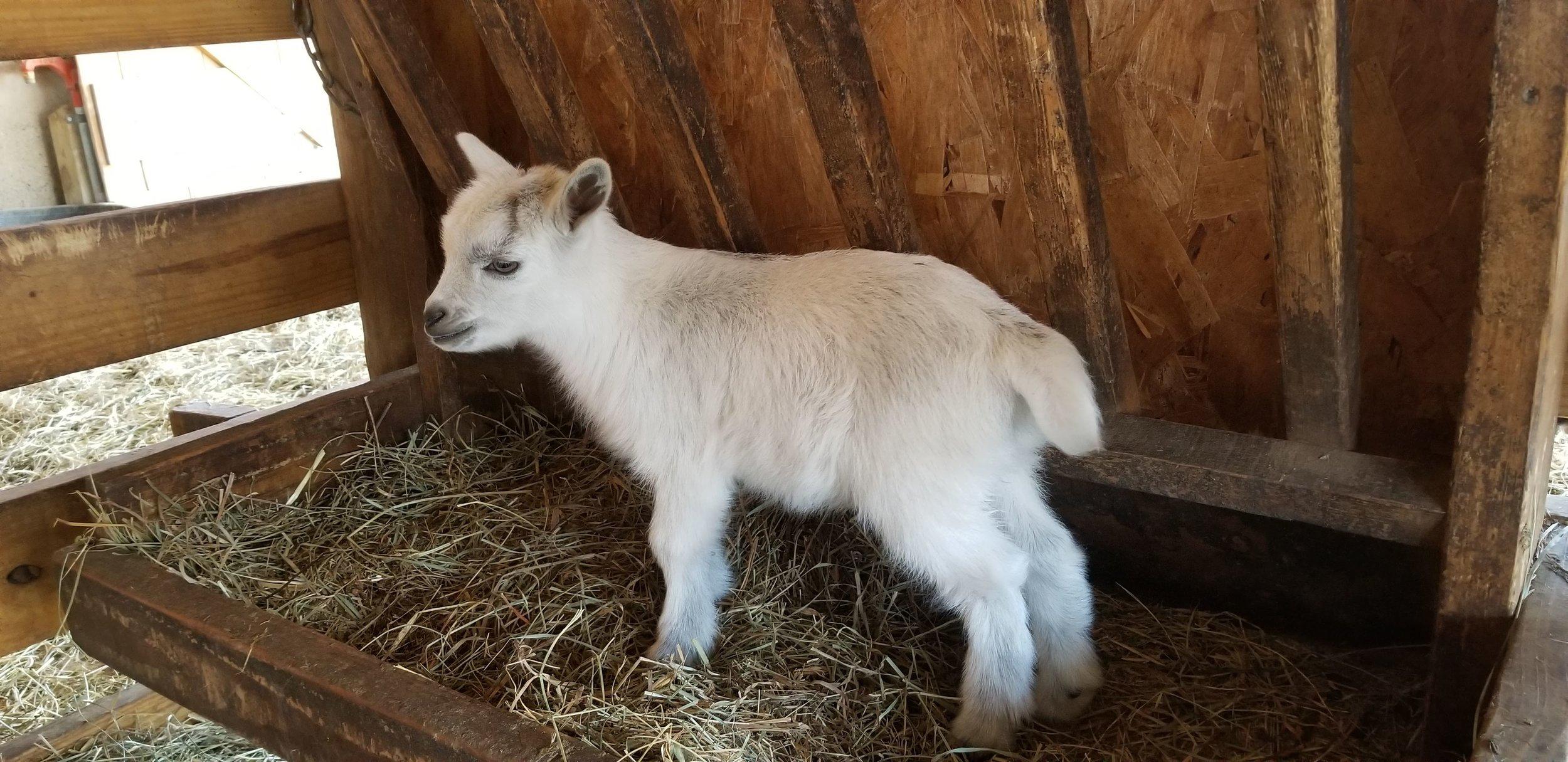 SMALL GIRL'S BABE- GIRL $175 3/4 FAINTER 1/4 PYGMY. BORN SPRING 2019 READY MAY 20TH