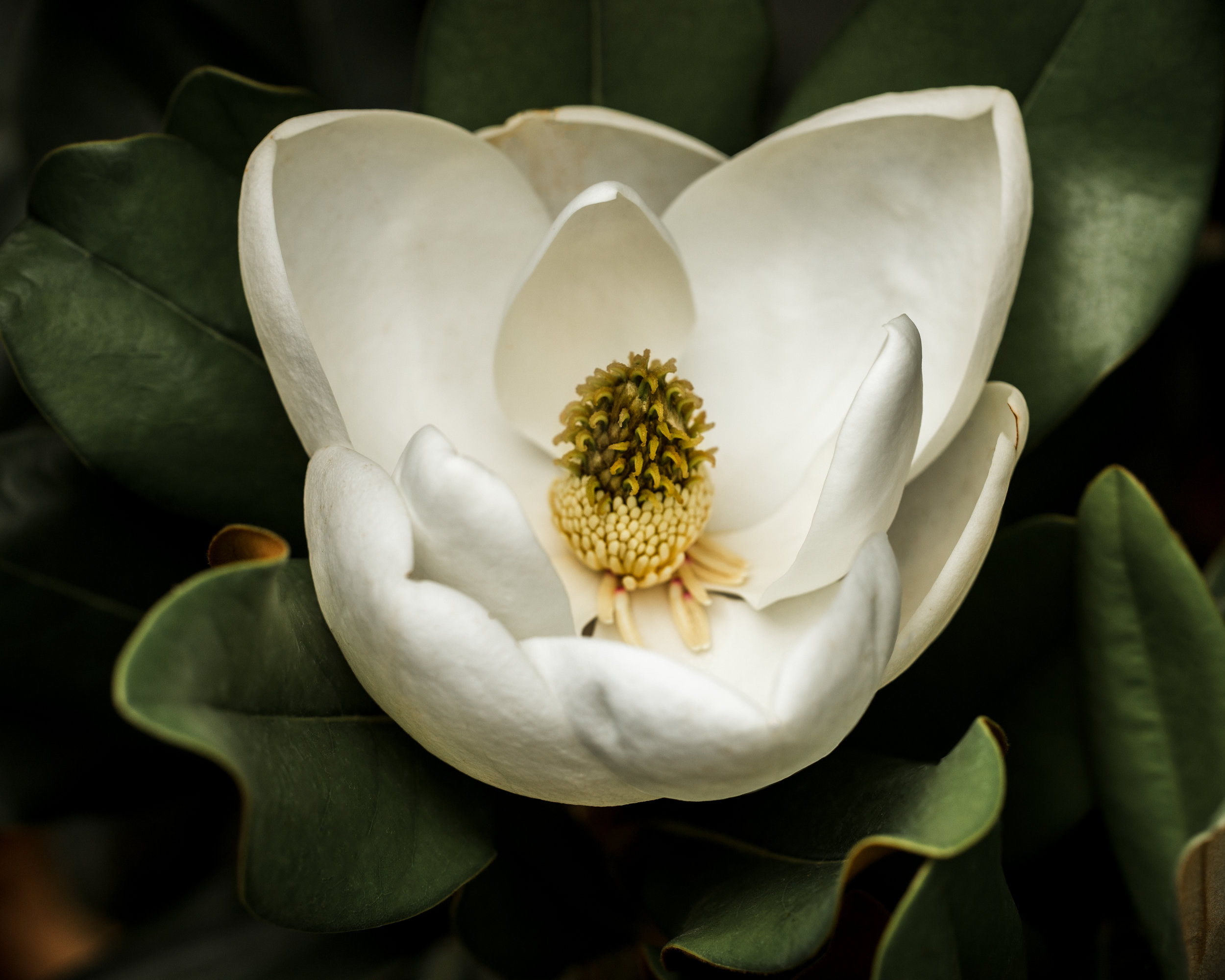 magnolia8x10print.jpg